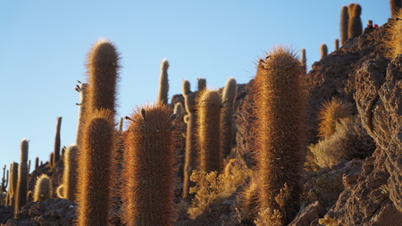 砂漠のサボテン畑