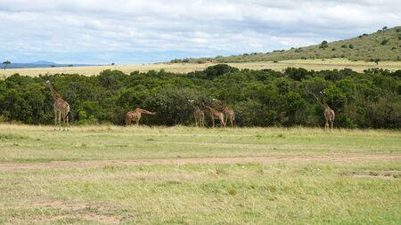 Wild Giraffes in Maasai Mara National Reserve, Kenya