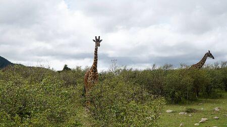 Giraffes in Savannah at Africa Stockfoto