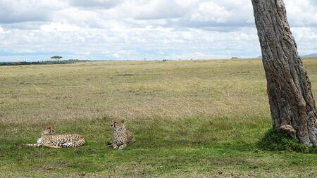 Cheetahs Lying Down in the Shade