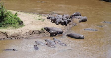 Group of Hippopotamus and Hippos in Wildlife of Africa