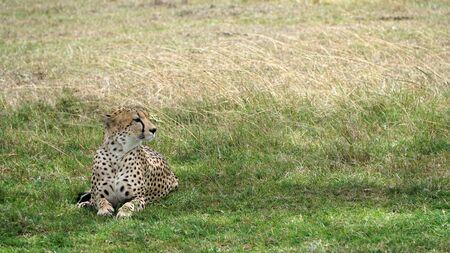 Cheetah Relaxing In The Shade, Kenya, Africa Stockfoto