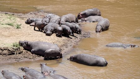 A Group of Hippopotamus and Hippos in the River, Kenya Africa