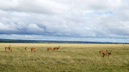 Antelopes Eating Grass in Africa Stockfoto