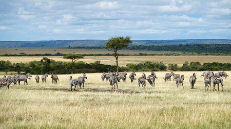Wild African Zebras in National Park. Wildlife of Africa.