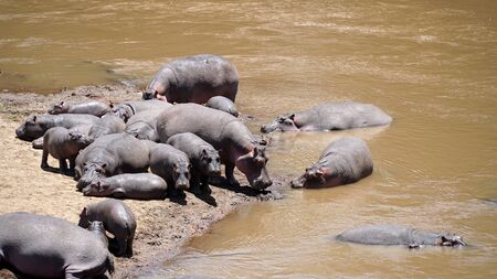 A Group of Common Hippopotamus or Hippo in the River Stockfoto