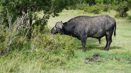 African Buffalo (Syncerus Caffer) Eating Grass
