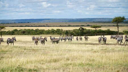 African Zebras in Savanna. Wildlife of Africa.