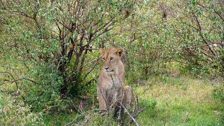 Female Lion Sitting Between Trees Stockfoto