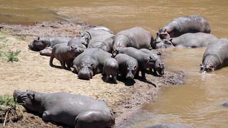 Group of Hippopotamus or Hippos in Wildlife