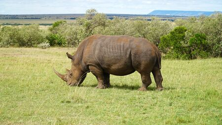 Rhinoceros in the Masai Mara Reserve in Kenya Africa