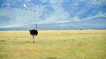 Ostrich in Wildlife, Kenya Africa