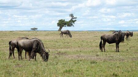 Wildebeest in African Savanna, Kenya