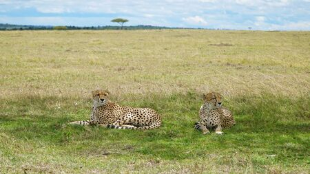 Two Cheetahs Lay and Relax in the Shade Stockfoto