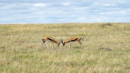 Two Impalas in African Savanna Stockfoto