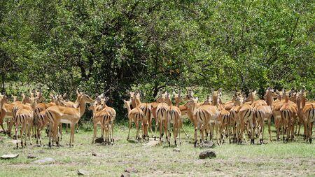 Impalas (Aepyceros Melampus) or Antelopes in South Africa
