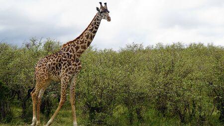 Giraffe Walking Against Green Trees