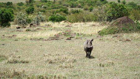 Warthog (Phacochoerus Africanus) from Pig Family in Wildlife Stockfoto