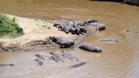 Hippos in the Africa River Stockfoto