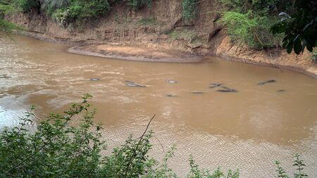 Hippopotamus Swimming in The River, Kenya Stockfoto