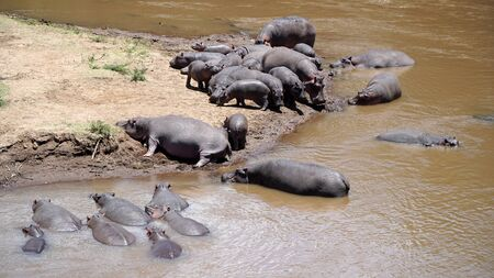 African Hippos in the River, Kenya
