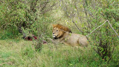 Lion Lying on the Grass and Eating