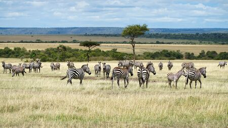 African Zebras in The Savannah. Masai Mara, Kenya.