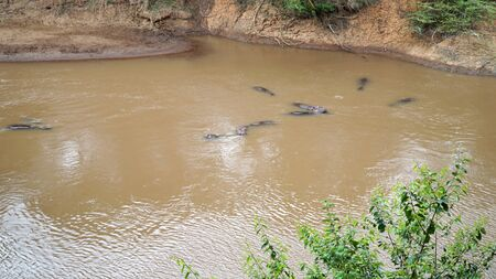 Group of Hippos Swimming in The Water