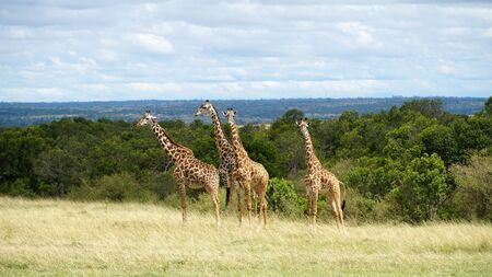 Free Giraffes in National Park of Kenya, Africa