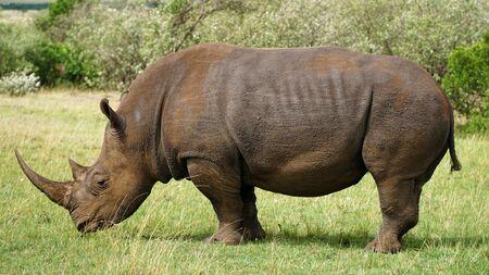 A Wild Rhinoceros on Green Grass Land