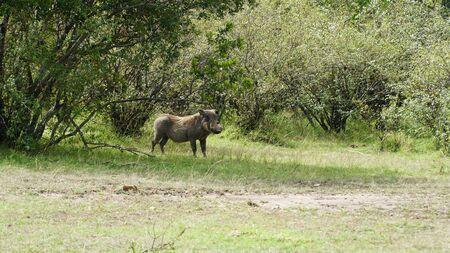 Warthog (Phacochoerus Africanus) from Pig Family in Kenya, Africa Stockfoto