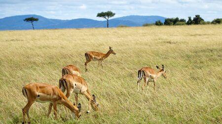 Antelopes Eating Grass in Wildlife