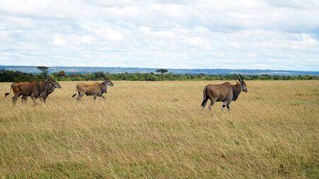Common Eland (Taurotragus Oryx), Africa