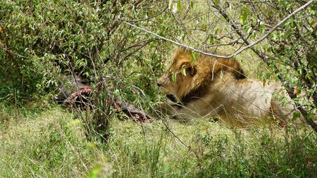 Lion Eating on the African Savanna