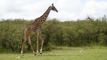 Beautiful Wild Giraffe Walking in the National Park Stockfoto