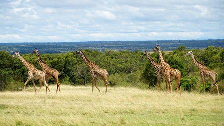Wild Giraffes in National Park of Kenya, Africa