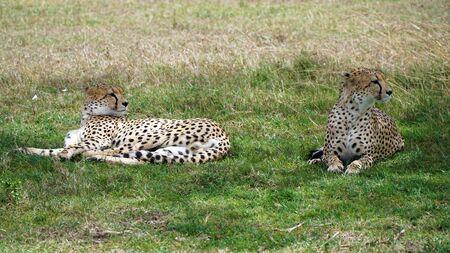 Cheetahs, Maasai Mara National Reserve Kenya