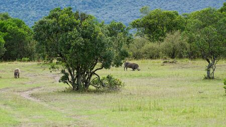 Common Warthog in African Savanna
