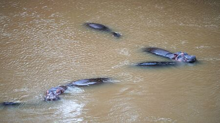 Several Hippos Swimming in The Water Stockfoto