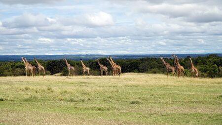 A Group of Giraffes Standing