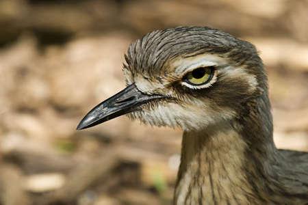 grosse tete: Un oiseau avec une t�te tr�s gros