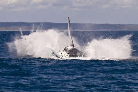 breach: The splash from a humpback whale breach in hervey bay Australia Stock Photo