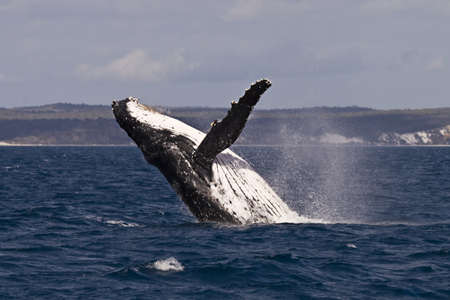 breach: A Humpback whale breach in the hervey bay Australia