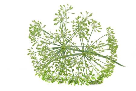 finocchio: Ombrelli di finocchio con semi su sfondo bianco