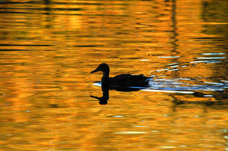 Duck Silhouette Swimming on Pond photo