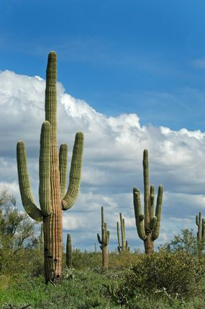Saguaro cactus in desert with sky and clouds