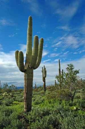 saguaro: Saguaro cactus in desert with sky and clouds
