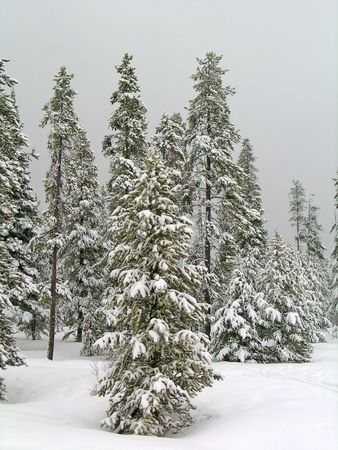 Stand of pine trees covered in snow in the winter