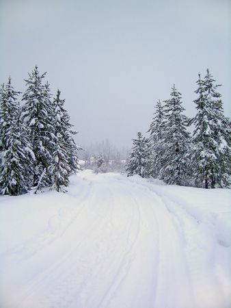 nip: Road through stand of pine trees covered in snow in the winter