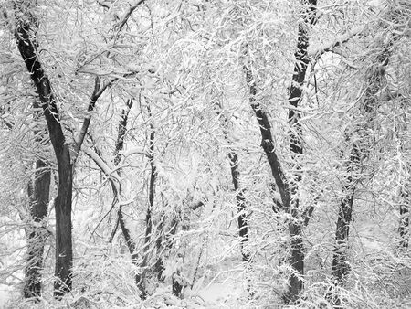 blanketed: Stand of trees covered in snow in the winter